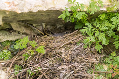 Grey wagtail (Motacilla cinerea) sitting on nest (Ian Redding) Tags: british european greywagtail motacillacinerea motacillidae uk bird breeding chicks colourful fauna incubating longtail nature nest nesting onnest plumage reproduction sitting springtime sticks wagtail water wildlife yellow young