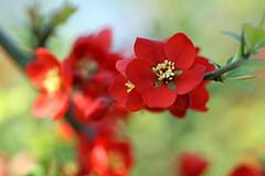 Flowering Quince (Mah Nava) Tags: red rot floweringquince frühling spring chaenomelesspeciosa japanischezierquitte chaenomeles zierquitte japanesequince lokischmidtgarten