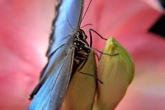 Papillons en Liberté 2017 - Photo 30 (Le Chibouki frustré) Tags: nikon nikond700 d700 700 fx fullframe montréal montreal homa hochelagamaisonneuve macro macrophotographie botanicalgarden jardinbotanique jardinbotaniquedemontréal montrealbotanicalgarden butterfly insect insects bokeh dof pdc papillonsenliberté2017 butterfliesgofree2017 closeuplens closeupfilter