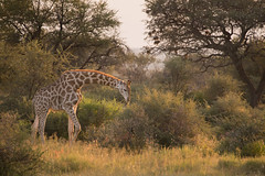 Namibia 2017 (Marianne Zumbrunn) Tags: namibia2017 namibia 2017 nikon d610 nikond610 nikon300mmf4pf gocheganas safari light sun evening color colour giraffe