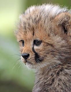 cheetah Beekse Bergen BB2A8528
