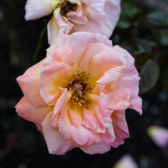 rose 'royal dane' (Virginia McMillan) Tags: flowers gardens roses wellington new zealand