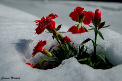 l'hiver s'invite au printemps... (corinnemorand) Tags: neige printemps hiver nature flore flocon feuille fleur soleil