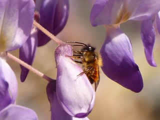 Osmia cf. bicornis (male)