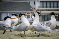 Would You Care To Dance? (halladaybill) Tags: eleganttern bird newportbeach balboapeninsula mating sternaelegans beachparty orangecounty urban