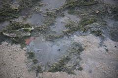 Oil sheen on Changi three months after East Johor oil spill (wildsingapore) Tags: changi threats oil spill island singapore marine coastal intertidal shore seashore marinelife nature wildlife underwater wildsingapore