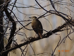 Hermit Thrush DSC07519 (BayonneBirder) Tags: bird thrush hermit brown