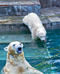 Polar bear is sticking out his tongue (♥Oxygen♥) Tags: animal bear mother polar cub pool zoo wild bathing mammal north motherhood peace basin love tongue family childhood kid wildlife white happiness tenderness arctic water nature mom cute mum baby suckler protection mummy bath face sweet unity ecology portrait young familyportrait care safety parenting lovely embrace outdoor bite language funny