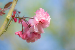 Cherry Blossom (paulapics2) Tags: spring blossom bluten flower flora floral fleur blümen outdoor garden tree april springtime nature pink depthoffield pastel soft printemps frühling canoneos5dmarkiii canonef70300mmf456lisusm cherryblossom macro petals cherry