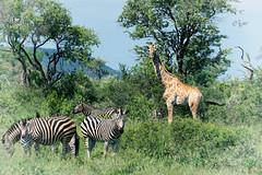 2017 Memory of Africa (jeho75) Tags: sony ilce 7m2 tele south africa südafrika za madikwe gamedrive safari giraffe zebra bush busch memory erinnerung tau game lodge