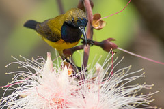 Male Olive-Backed Sunbird (Hidayat Tan) Tags: wildlife nature photography animals singapore olive backed sunbird bird birders avian