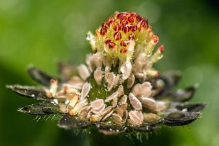 Daisy Seeds (Macro Monday)