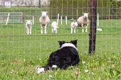 14/52 ... sheep have arrived ... (neurosheep) Tags: omdweek142017 52weeksfordogs bordercollie drift sheep fence
