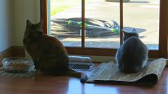 Gracie (left) and Millie (right) 8 April 2017 4026Ri 9x16 (edgarandron - Busy!) Tags: cat cats kitty kitties tabby tabbies cute feline millie graytabby gracie patchedtabby