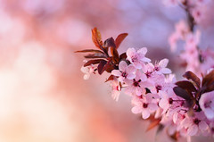 Spring colors (Pásztor András) Tags: nature spring flower blossom bloom leaf pink red yellow purple dof blurred background bokeh 50mm 18g sky sunset sun light dslr nikon d5100 hungary andras pasztor photography 2017