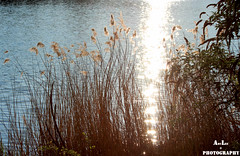 IMG_6849 (AmyLee1201) Tags: sun lac lake sunset roseaux hautesavoie france