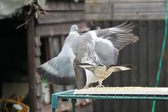 21 April 2017 (26) (AJ Yakstrangler) Tags: yakstrangler pigeon pigeons
