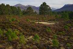 Abernethy Forest (Donald Beaton) Tags: uk scotland highlands abernethy forest scots pine pinus sylvestris young old landscape cairngorms cairngorm bynack more beinn mheadhoin mountains view spring 2017 april heather sony a7