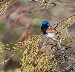 Busted! (Mykel46) Tags: rockleigh southaustralia australia au birds nature wildlife canon blue red bronze black fairy wren outside outdoors colour natur