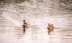 Arriving (Coisroux) Tags: duks water pond swimming gliding floating serene mallard birdlife hamptonvale d5500 nikond clarity depthoffocus reflections lakeside embankment rivers nature
