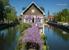 Summer in April... Strasbourg 2017 (1) (Cloudwhisperer67) Tags: glycine mauve violet indigo flowers strasbourg alsace france 2017 summer april amour cloudwhisperer67 medieval bridge ponts couverts cathedral cathédrale view barrage vauban cityscape waterscape city town skyscape urban travel trip photography panorama panoramic amazing splendid spring love lovely europe europa great canon 760d 760