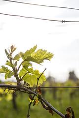 Weinblatt (horitschonwine) Tags: frühling horitschon weingarten vineyard weinblatt
