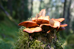 Mushroom and moss on a dead stump (JensRongved) Tags: 苔 moss mushroom ノルウェー ベルゲン