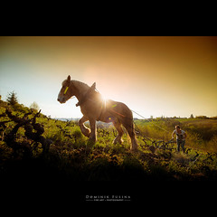 Horse in Vines (Beaujolais) (dominikfoto) Tags: horse cheval beaujolais vigne labourage vine france fusina fusinadominik sorgho chevaldetrait tradition sabine
