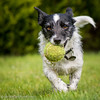 Nibbler (Mr Whites Paw Prints) Tags: jackrussell nibbler