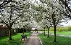 Waltham Abbey Gardens - Essex (Mark Wordy) Tags: walthamabbeygardens caminhos path cherryblossom spring essex