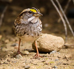 I wish he was a little bolder.   White-throated Sparrow Inceville Los Liones Canyon Los Angeles  032 (pekabo90401) Tags: rarebird pacificpalisadesbirds canyonmonkey pekabo90401 camaraderie friendship birdsofsoutherncalifornia inceville lightroom 80d 100400 canon canon80d zonotrichiaalbicollis whitethroatedsparrow wesen hidingmonkey bruantàgorgeblanche sparrow moineau spatz mus spurv passero chimsesẻ manuliilii σπουργίτησ スズメ 참새 birdwatching birdwatchinglosangeles southerncaliforniabirds bouldermonkey takentoday fresh