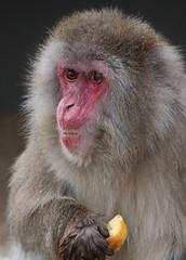 japanese macaque artis JN6A7138 (joankok) Tags: mammal monkey macaque makaak macaca macacafuscata japanesemacaque japansemakaak japan azie asia aap animal artis primaat primate