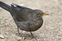 Blackbird (Turdus merula) (Jud's Photography) Tags: blackbird turdusmerula bird uk