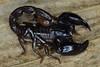Chactidae, Brotheas sp. (aracnologo) Tags: amazon amazonbiome amazonia amazonforest amazônia mazagão amapá chactidae brotheas escorpião scorpiones scorpion alacrán