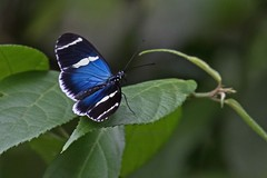 DORILONG Open 0129 (bryanjsmith62) Tags: dorislongwing laparusdoris nymphalidae butterflies lepidoptera