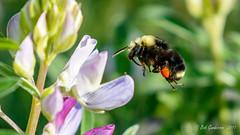 Bumble Bee (Bob Gunderson) Tags: bees bumblebee california fortmason insects northerncalifornia sanfrancisco wildlife