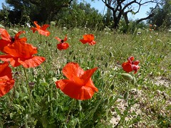 First days of summer (Marlis1) Tags: poppies klatschmohn papaverrhoeas mohn tortosacataluñaespaña panasonictz71 marlis1 flowermeadows blumenwiesen baixebre exploredapril172017 imexplore17april2017