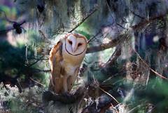 Barn Owl (Thy Photography) Tags: barnowl california birdofprey owl bird prey animal raptor nature photography outdoor wildlife