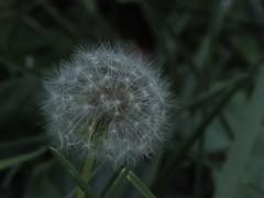 fuzz (maddiesphotography13) Tags: dandelion fuzz wish