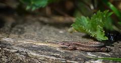 Common Lizard juvenile (rl19728) Tags: basking strumpshawfen juvenile commonlizard