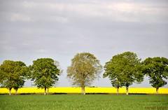 Route du colza (FleurdeLotus28) Tags: eureetloir régioncentre spring printemps nature landscape land paysage field arbre tree campagne countryside colors champ vert green jaune yellow nikon