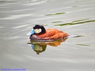 The ruddy duck (Oxyura jamaicensis) Laguna Parque Florida (Bogota  Cundinamarca)
