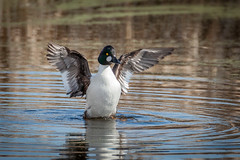 Goldeneye looking for attention (ingridvg) Tags: goldeneye wings flapping wetlands water