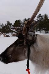 DAV_0464 Reno tirando de un trineo (David Barrio López) Tags: arbol tree pino siida sajos sami circulopolarartico arcticcircle holidayvillageinarihotel lomakyläinari reno reindeer poro nieve snow aurora boreal auroraboreal northernlights auroraborealis polarlights inari ivalo laponia lapland finlandia finland nikon d610 nikond610 fullframe nikkor2470mm 2470mm afsnikkor2470mmf28ged davidbarriolópez davidbarrio