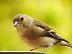 A hungry visitor! (macfudge1UK) Tags: ©allrightsreserved 2017 avian bbcspringwatch bird britain britishbird britishbirds coolpix coolpixp610 england fauna gb greatbritain nature nikon nikoncoolpixp610 oxfordshire oxon p610 perch perching rspbgreenstatus spring uk wildlife goldwildlife ngc npc