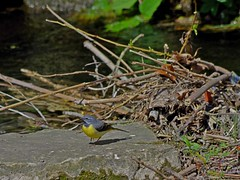 1391-34L (Lozarithm) Tags: calne wilts rivers rivermarden birds wagtails pentax zoom k50 55300 hdpda55300mmf458edwr
