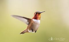 097A9643_edit_resized_wm (Lisa Snow Photography) Tags: rufous hummingbird malerufous