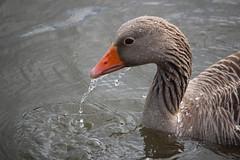Bath Time (jo.dainty) Tags: moist splash droplet wet beak water duck