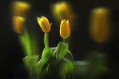 Three and three... (ZenonasM) Tags: yellow gren black spring tulips three