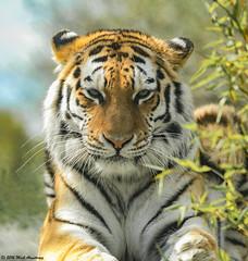 Tiger_Amur04.jpg (Mick J F Armstrong) Tags: 2017 amurtiger april bangladesh bhutan india myanmar nepal paradisewildlifepark siberiantiger tiger